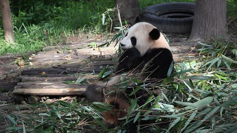 Giant Panda Footage