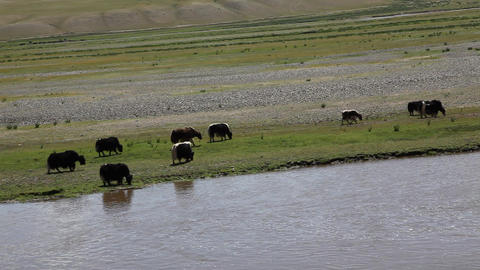 Herd Of Yaks stock footage