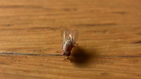 House Fly Insect Easts On Food Table stock footage