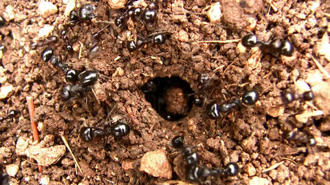 Winged ants before their bridal flight Footage