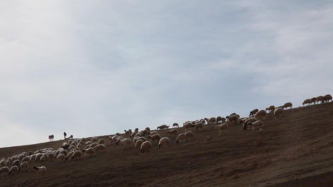 Sheeps of the Judean Desert Footage