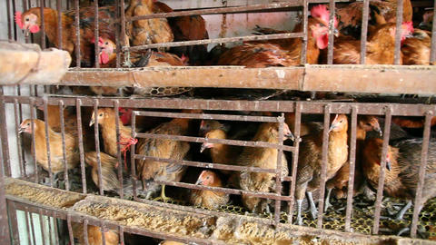 Chickens sold in the market Footage