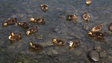 Ducklings Footage