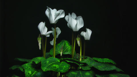 White Beautiful Cyclamen Flowers And Leaves Time L stock footage