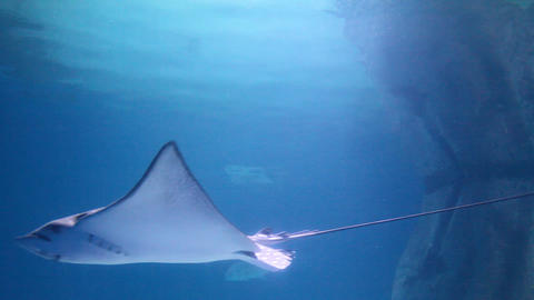 Stingray in the Underwater Observatory Marine Park Footage
