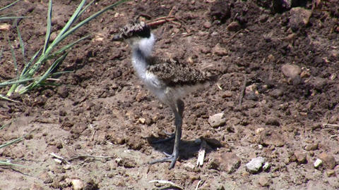 spur winged plover bird chick baby Footage