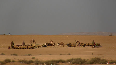Camels and sheep in the desert Footage