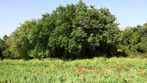 Wild Poppies, Wild Mustard And Oak Trees stock footage