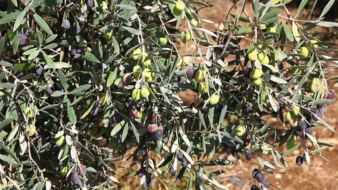 Olives On The Tree stock footage
