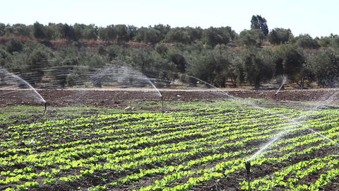 Vegetables in the field and garden bed with sprink Footage