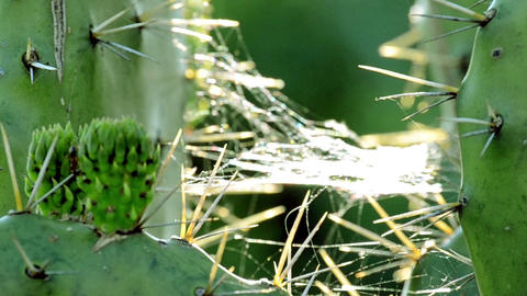 cobweb on a cactus with immature tunas Footage
