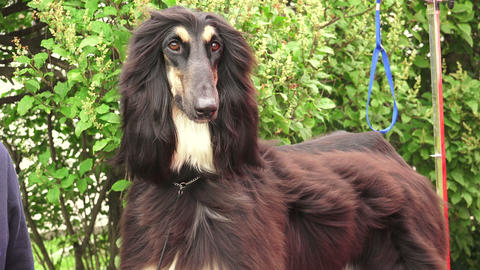 Afghan Hound. Breed Greyhounds.4K stock footage
