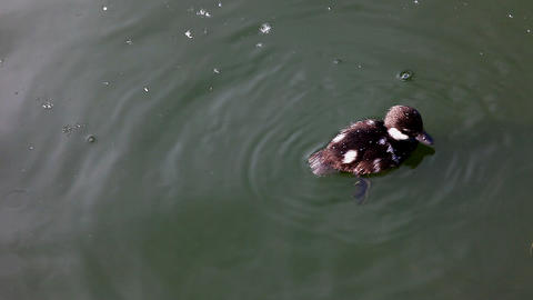 duckling dive in lake Stock Video Footage