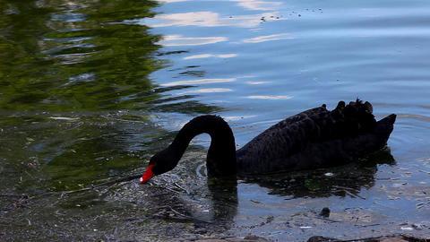 black swan feed in dirty lake Footage