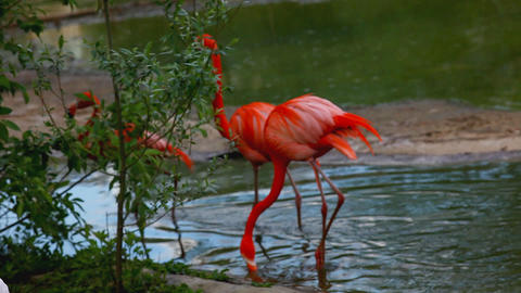 Flamingo walk in water Stock Video Footage