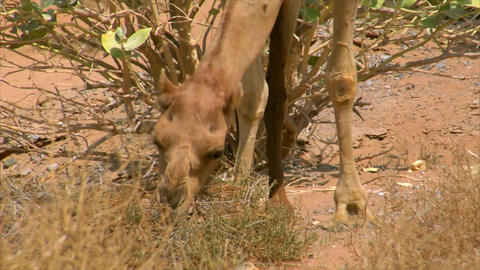 camel eat Stock Video Footage