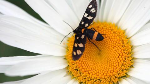 Black moth Stock Video Footage