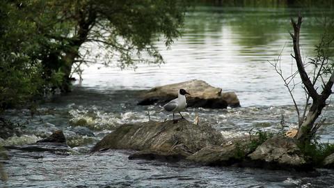 Rivergulls Stock Video Footage
