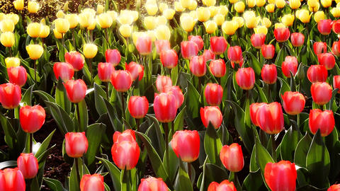 tulip2 Stock Video Footage