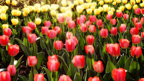 tulip2 Stock Video Footage
