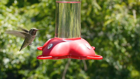 Hummingbird Stock Video Footage
