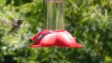 Hummingbird stock footage
