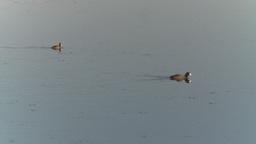 HD2008-8-1-54 duck pond Footage
