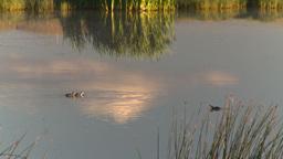 HD2008-8-1-56 duck pond Footage