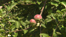 HD2008-8-2-16 fruit stand apple tree Stock Video Footage