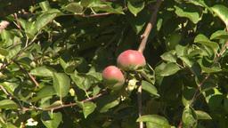 HD2008-8-2-16 fruit stand apple tree Footage