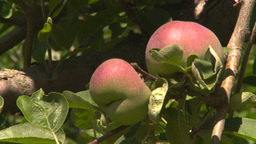 HD2008-8-2-18 fruit stand apple orchard Z Footage