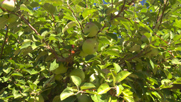 HD2008-8-2-20 fruit stand apple orchard Z in Stock Video Footage