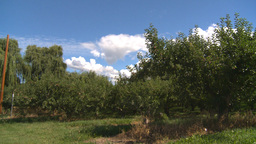 HD2008-8-2-28 apple orchard Footage
