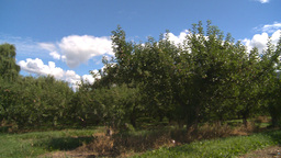 HD2008-8-2-28 apple orchard Stock Video Footage