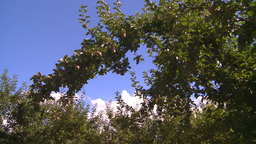 HD2008-8-2-30 apple orchard Stock Video Footage