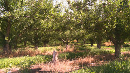 HD2008-8-2-32 apple orchard Stock Video Footage
