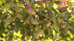 HD2008-8-2-34 apple orchard Footage