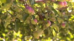 HD2008-8-2-34 apple orchard Footage