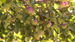 HD2008-8-2-34 apple orchard Stock Video Footage