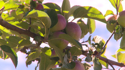 HD2008-8-2-36 apple orchard Stock Video Footage