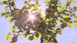 HD2008-8-2-38 apple orchard Footage