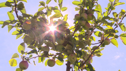 HD2008-8-2-38 apple orchard Stock Video Footage