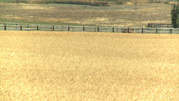 HD2008-8-3-35 ripe wheat Stock Video Footage