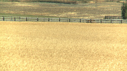HD2008-8-3-35 ripe wheat Stock Video Footage