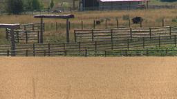 HD2008-8-3-39 ripe wheat Stock Video Footage