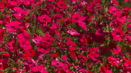 HD2008-8-4-21 red flowers Stock Video Footage