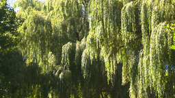 HD2008-8-4-27 weeping willow Stock Video Footage