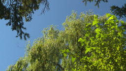 HD2008-8-4-29 weeping willow tree tops Stock Video Footage
