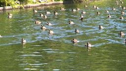 HD2008-8-4-37 water ducks Stock Video Footage