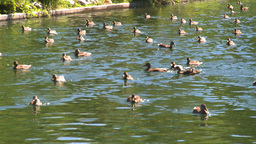 HD2008-8-4-37 water ducks Footage